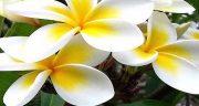 تعبیر خواب یاس ، گل بنفش رنگ و دیدن و عطر گل یاس سفید و سبز و آبی